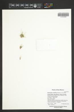 Bulbostylis schaffneri image