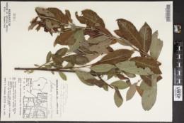 Image of Salix glaucophylloides