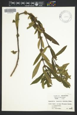 Image of Hygrophila lacustris