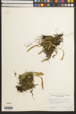 Image of Polypodium polylepis
