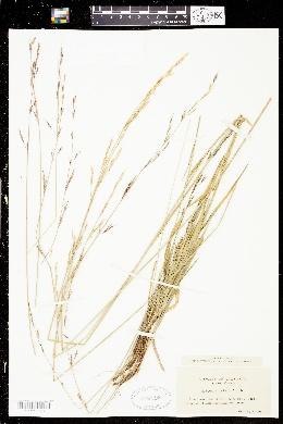 Melica altissima image