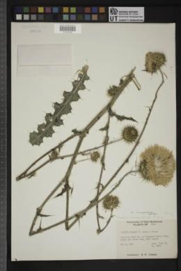 Cirsium neomexicanum var. neomexicanum image