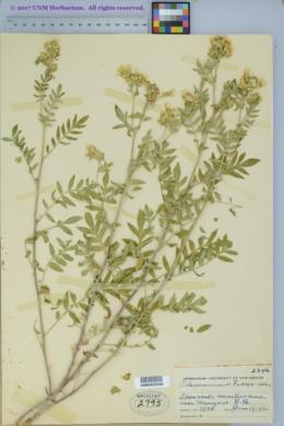 Polemonium foliosissimum var. flavum image