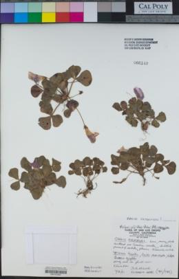 Oxalis purpurea image