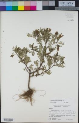 Image of Tagetes foetidissima