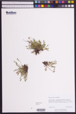 Image of Erigeron mancus