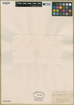 Dalea polygonoides image