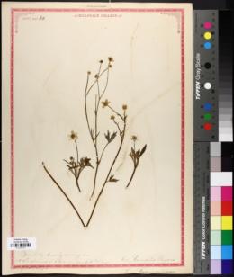 Image of Ranunculus austrooreganus