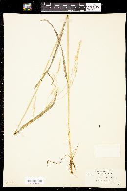 Image of Festuca subuliflora