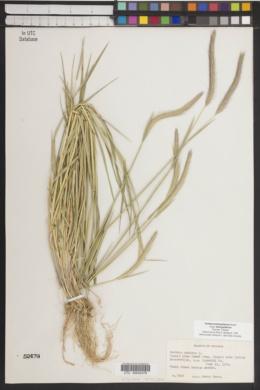 Hordeum brachyantherum subsp. brachyantherum image