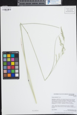 Festuca thurberi image