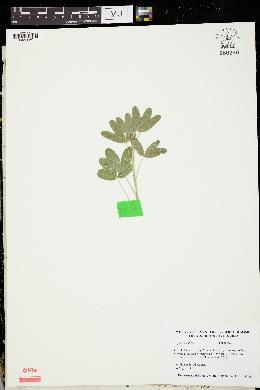 Trifolium rubens image