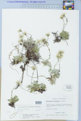 Antennaria marginata image