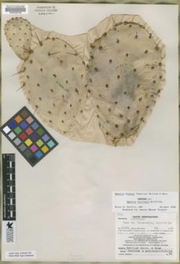 Image of Opuntia intricata