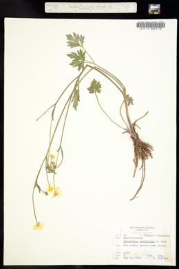 Image of Ranunculus acriformis