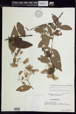 Banisteriopsis calcicola image