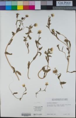 Calendula arvensis image