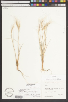 Image of Pappostipa patagonica