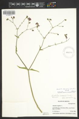 Mirabilis linearis var. decipiens image