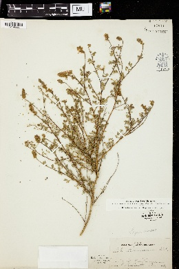 Image of Dalea seemannii