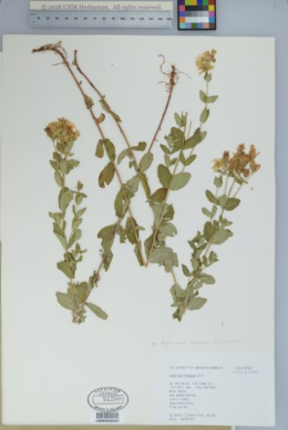 Hypericum scouleri subsp. nortoniae image