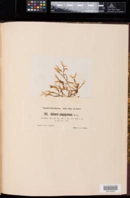 Haliseris plagiogramma image