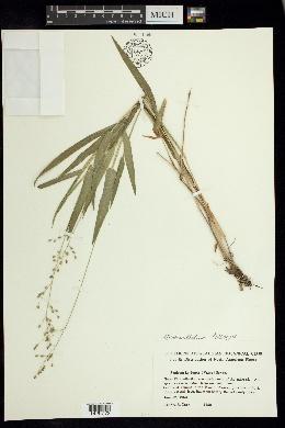 Dichanthelium leibergii image