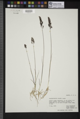 Image of Calamagrostis holmii