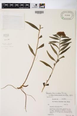 Image of Vernonia fasciculata