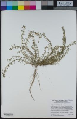 Spergularia rubra image