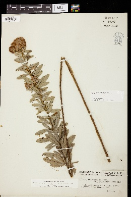 Lespedeza hirta var. longifolia image