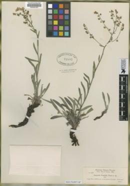 Hackelia cusickii image