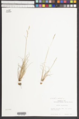 Image of Festuca subulifolia