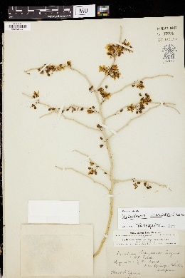 Image of Parkinsonia torreyana