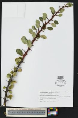 Image of Fouquieria ochoterenae