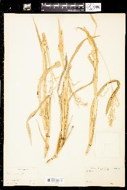 Panicum palmeri image