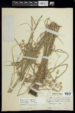 Cyperus ochraceus image