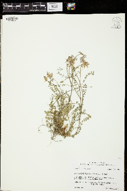 Image of Astragalus distortus