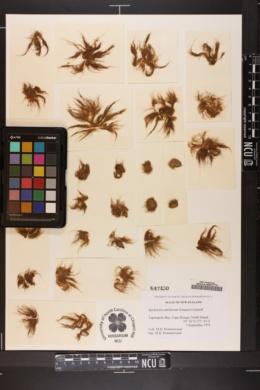 Bachelotia antillarum image