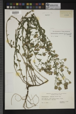 Dieteria canescens var. canescens image