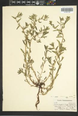 Buglossoides arvensis image