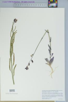 Streptanthus carinatus subsp. carinatus image