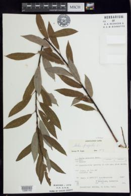Image of Salix euxina