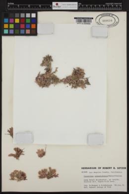 Corallina pinnatifolia image