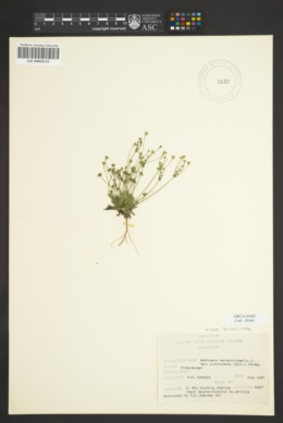 Androsace septentrionalis image