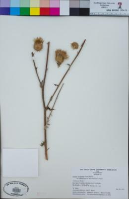 Cirsium occidentale image