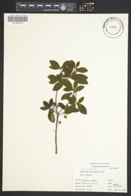 Image of Rhododendron ferrugineum