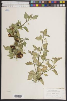 Solanum humile image