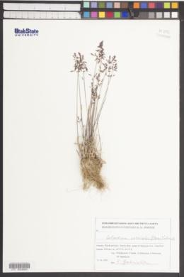 Image of Colpodium versicolor