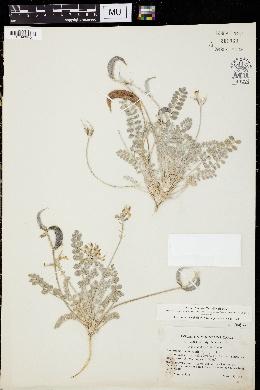 Image of Astragalus tidestromii